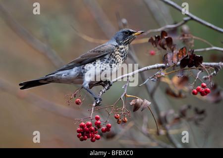 Fieldfare Turdus pilaris, feeding on Rowan berries in autumn