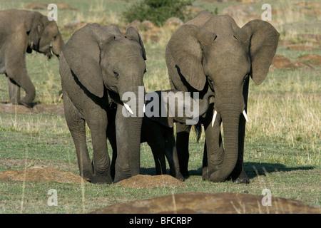 African Elephant Family - Masai Mara National Reserve, Kenya - Stock Photo
