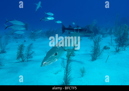 Two Great Barracuda over a sandy reef in Little Cayman. - Stock Photo