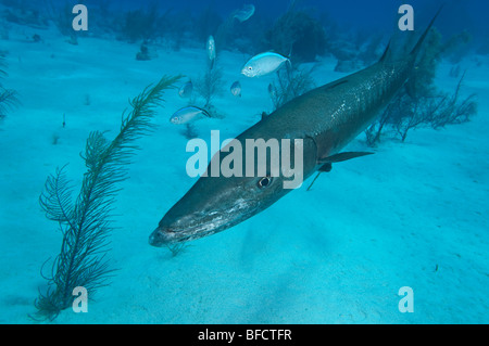 A Great Barracuda over a sandy reef in Little Cayman. - Stock Photo