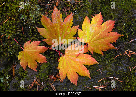 Vine maple leaves fall in October autumn in the Cascade Mountains of Oregon - Stock Photo