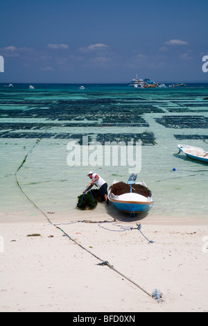 A seaweed farmer unloads his crop on Nusa Lembongan island beach,  Bali, Indonesia.  The farms can be clearly seen - Stock Photo