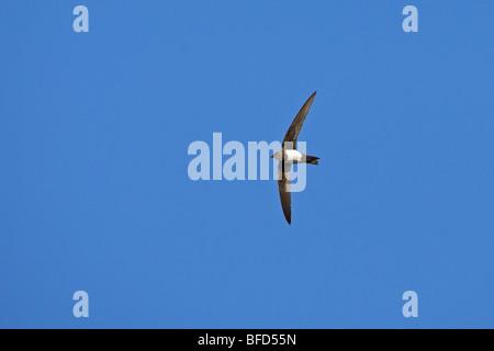 Alpine Swift Apus melba - Stock Photo