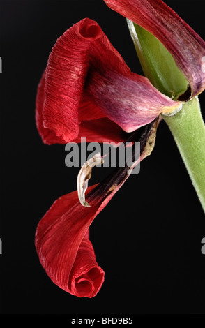 Wilted red Dwarf Tulip close up - Stock Photo