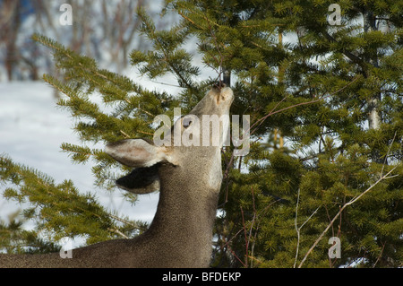 Female Mule deer (Odocoileus hemionus) munching on tree branch, Waterton Lakes National Park, Alberta, Canada.