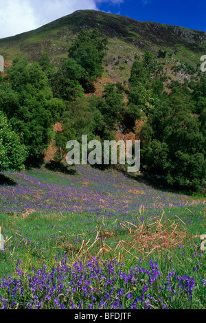 The hills of Perthshire are relatively unspoilt and in the spring there are carpets of bluebells and other wild - Stock Photo