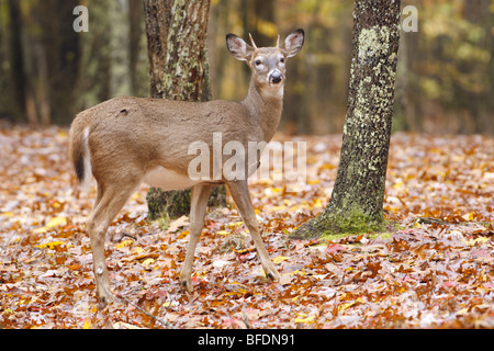 White tailed Deer in Fall - Stock Photo