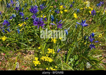 Blue camas (Camassia) plant growing in Victoria, Vancouver Island, British Columbia, Canada