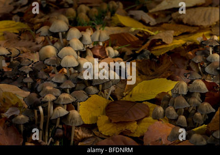 Fairy bonnet toadstool fungi in a Scottish churchyard in autumn may be disseminatus or congregatus sp - Stock Photo