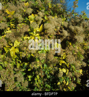 Travellers joy, wild clematis, old mans beard (Clematis vitalba) seeding climber - Stock Photo