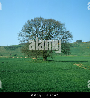 Single oak tree (Quercus robur) with green tinge of leaf buds in early spring in a young cereal crop - Stock Photo