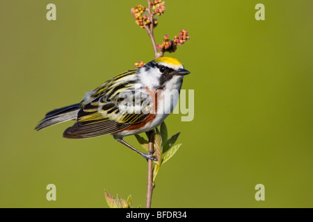 Chestnut-sided warbler (Dendroica pensylvanica) perched on a branch near Long Point, Ontario, Canada Stock Photo