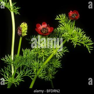 Pheasants eye (Adonis annua) flowers, leaves and seedhead forming - Stock Photo