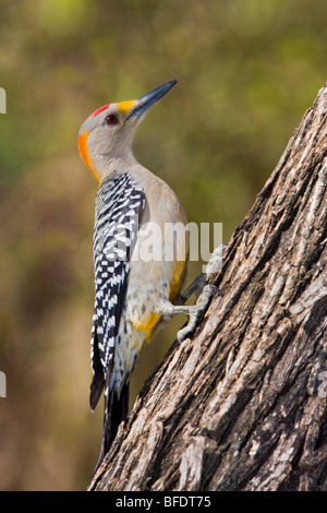 Golden-fronted woodpecker (Melanerpes aurifrons) perched on a tree trunk in the Rio Grande Valley in Texas, USA - Stock Photo