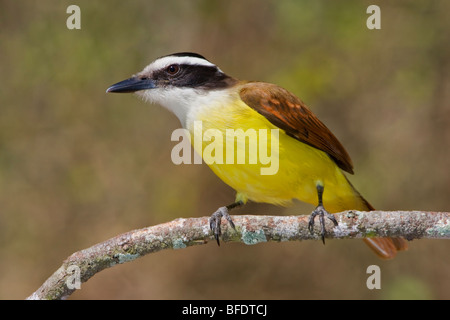 Great Kiskadee (Pitangus sulphuratus) perched on a branch in the Rio Grande Valley of Texas, USA - Stock Photo