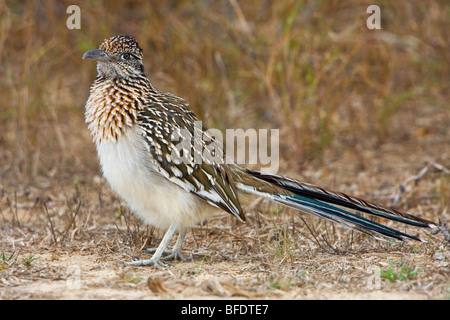 Greater Roadrunner (Geococcyx californianus) in a dry scrubland area of Falcon State Park, Texas, USA - Stock Photo