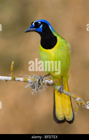 Green Jay (Cyanocorax yncas) perched on a branch in the Rio Grande Valley of Texas, USA - Stock Photo