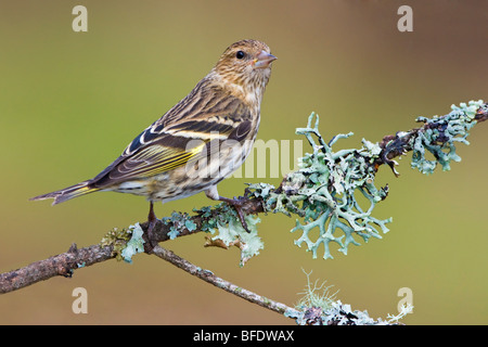 Pine siskin (Carduelis pinus) perched on a branch in Victoria, Vancouver Island, British Columbia, Canada - Stock Photo