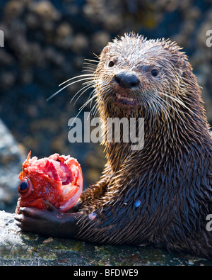 River otter (Lontra canadensis) eating a fish in Victoria, Vancouver Island, British Columbia, Canada