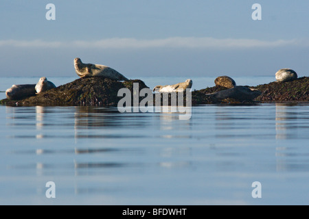 Fur seals (Callorhinus ursinus) basking on rocks near Victoria, Vancouver Island, British Columbia, Canada - Stock Photo