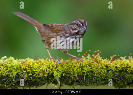 Song sparrow (Melospiza melodia) perched on a moss covered branch in Victoria, Vancouver Island, British Columbia, - Stock Photo