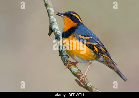 Varied Thrush (Ixoreus naevius) perched on a branch in Victoria, Vancouver Island, British Columbia, Canada - Stock Photo