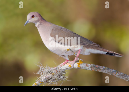 White-tipped Dove (Leptotila verreauxi) perched on a branch in the Rio Grande Valley of Texas, USA - Stock Photo
