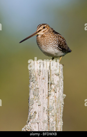Wilson's Snipe (Gallinago delicata) perched on a fence post at the Carden Alvar in Ontario, Canada - Stock Photo