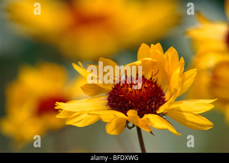 Close-up detail of Gaillardia (Gaillardia aristata) blossom, Jasper National Park, Alberta, Canada - Stock Photo