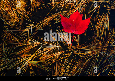 Close-up of red maple (Acer Rubrum) leaf and eastern white pine (Pinus strobusr, Killarney Provincial Park, Ontario, - Stock Photo