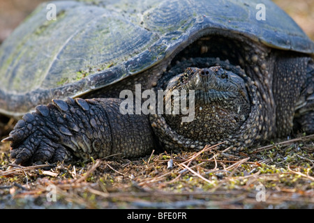 Close-up of snapping turtle (Chelydra serpentina) sitting comfortably on the trail, unwilling to move, Atikokan, - Stock Photo