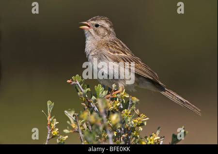 Brewer's sparrow (Spizella breweri) singing and perched on sage brush at Fort Rock State Park, Oregon, USA - Stock Photo
