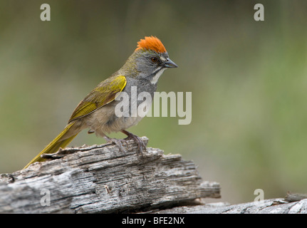 Green-tailed towhee (Pipilo chlorurus) perched on log in Deschutes National Forest, Oregon, USA Stock Photo