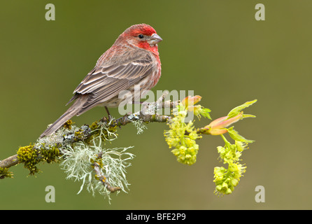 House finch (Carpodacus mexicanus) on budding apple tree branch, Victoria, Vancouver Island, British Columbia, Canada - Stock Photo