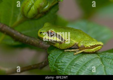 Pacific tree frog (Pseudacris regilla) at Beaver Lake Park, Saanich, British Columbia, Canada - Stock Photo