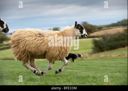 Mule gimmer lambs running with collie dog chasing it. - Stock Photo