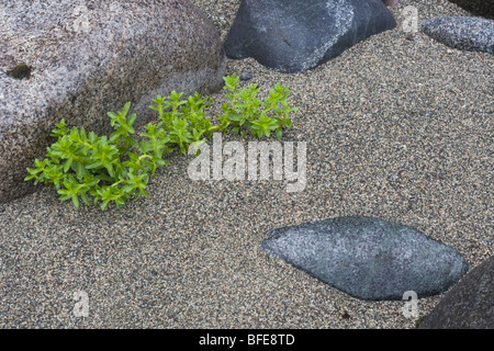 A close-up image of plants growing on the beach along the West Coast Trail on Vancouver Island, British Columbia, - Stock Photo