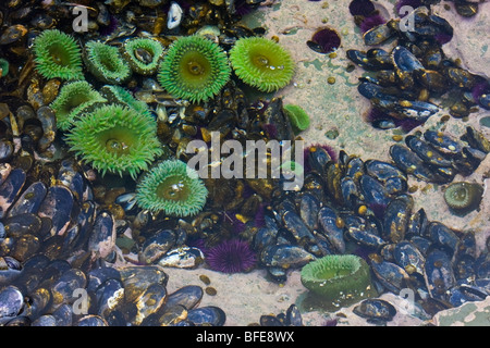 A tidal pool filled with sea anemones and mussels on the West Coast Trail on Vancouver Island, British Columbia, - Stock Photo