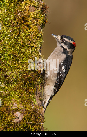 A Downy woodpecker (Picoides pubescens) feeds on a mossy tree trunk in Victoria, Vancouver Island, British Columbia, - Stock Photo