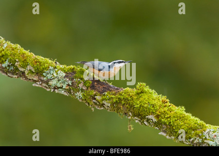 A Red-breasted nuthatch (Sitta canadensis) perches on a mossy branch in Victoria, Vancouver Island, British Columbia, - Stock Photo
