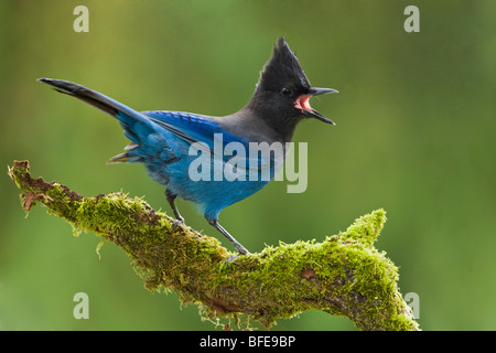 A Steller's Jay (Cyanocitta stelleri) perches on a mossy branch in Victoria, Vancouver Island, British Columbia, - Stock Photo