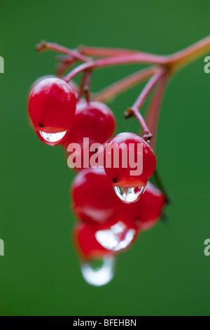 Guelder rose; berries; Viburnum opulus; cornwall - Stock Photo