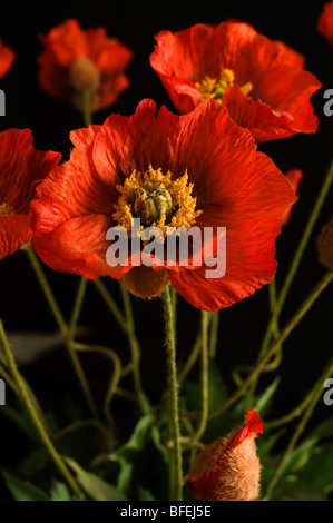 An artificial poppy flower stock photo 29129642 alamy artificial poppy flowers made of fabric stock photo mightylinksfo