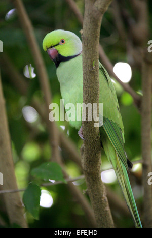 Rose-ringed Parakeet or Ring-necked Parakeet, Psittacula krameri, Psittacidae, Africa and India. - Stock Photo