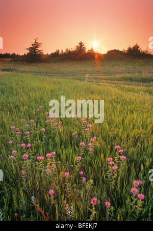 Sunset over field of Wild bergamot, Spruce Woods Provincial Park, Manitoba, Canada - Stock Photo