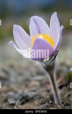 Close-up of Prairie crocus (Anenome patens) in Bow Valley Provincial Park, Kananaskis Country, Alberta, Canada - Stock Photo