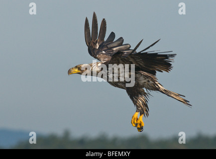 Immature Bald eagle (Haliaeetus leucocephalus) in flight, Victoria, Vancouver Island, British Columbia, Canada - Stock Photo