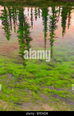 Tree reflection in unnamed spring, Jasper National Park, Alberta, Canada - Stock Photo