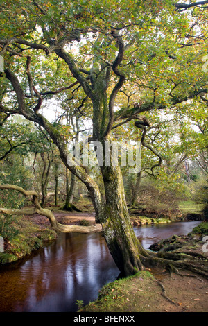 An English Oak in Autumnal colour sits by Ober Water in the New Forest National Park, England. - Stock Photo