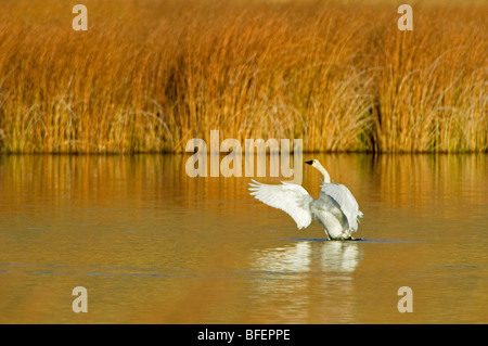 A Trumpeter swan (Cygnus buccinator) comes out of water on a beautiful fall day just south of Kamloops British Columbia - Stock Photo